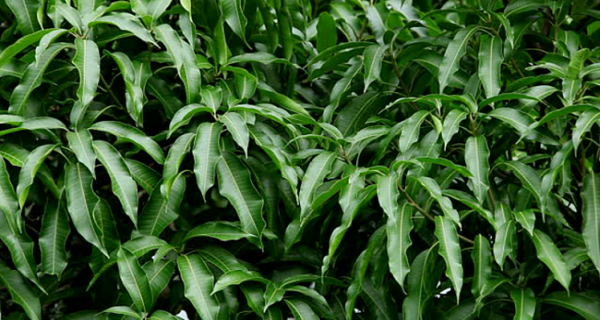 The Best 7 Uses Of Mango Leaves You Never Knew