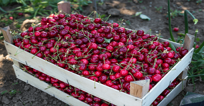Eat Cherries For Falling Asleep Faster. They Are A Great Late-Night Snack
