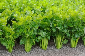 9 Reasons Why You Should Eat Celery Every Day