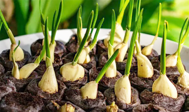 You are currently viewing Stop Buying Garlic At The Store. Here's How To Grow Garlic Right At Home